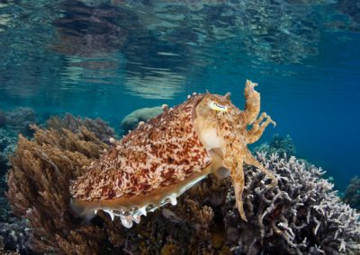 a cuttlefish in Lipah bay