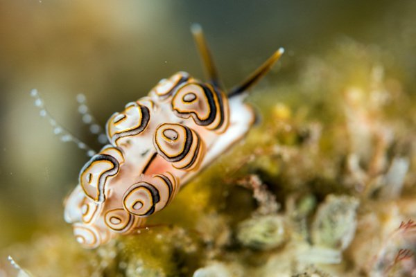 a Donut Nudibranch in Melasti