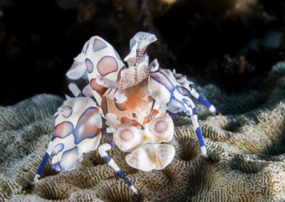 a tiny harlequin shrimp in melasti